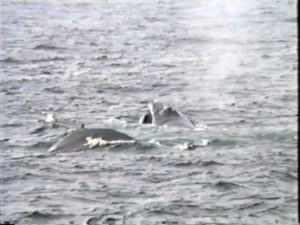bat the humpback whale with calf jagger