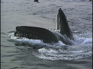 cardhu the humpback whale open mouth
