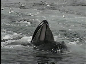 coral the humpback whale feeding
