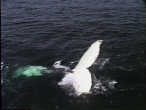 fan the humpback whale fluke