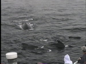 fracture the humpback with pilot whales