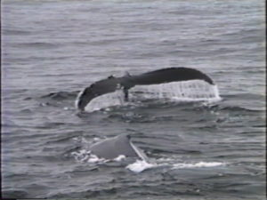 mars the humpback whale with scratch