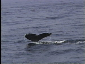 midnight the humpback whale