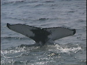 olympia the humpback whale fluke
