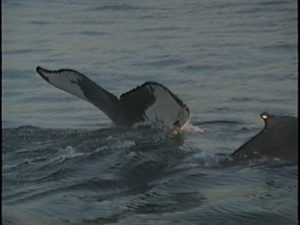 pepper the humpback with calf tadpole
