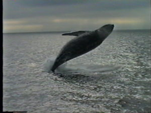sirius the humpback whale breach