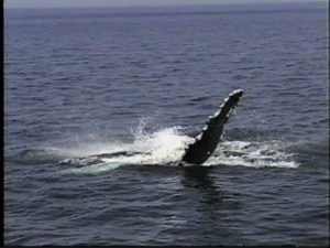 sirius the humpback whale