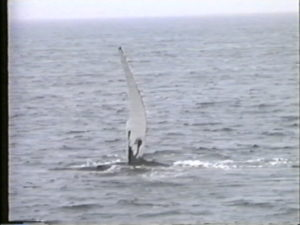 spoon humpback whale flippering