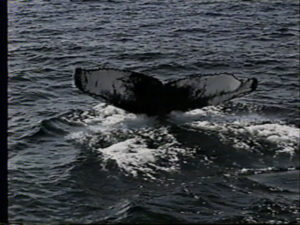 trident the humpback whale fluke