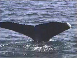 CARDHU THE HUMPBACK WHALE