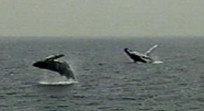 fringe and calf freestyle humpback whales breach