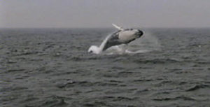 rocker the humpback whale